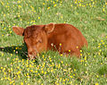 A little calf on Hambledon Hill 20070526.jpg