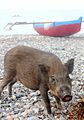 A pig and two boats, Dili, Timor Leste.jpg