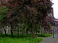 A view on some poplar trees in a urban public park in thew Amsterdam Plantage district; high resolution image by FotoDutch in June 2013..jpg