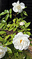 A white rose in Great Waltham, Essex, England 03.JPG