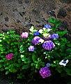 Abendsonne auf Hortensien Juni 2012.JPG