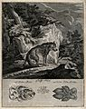 Above, an emaciated wolf in a rocky landscape, below, its tr Wellcome V0021103.jpg