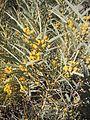 Acacia georginae flowers.jpg