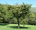 Acacia gerrardii, habitus, Walter Sisulu NBT.jpg