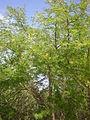 Acacia hebeclada 3c.JPG