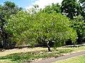 Acacia koaia (5187363175).jpg