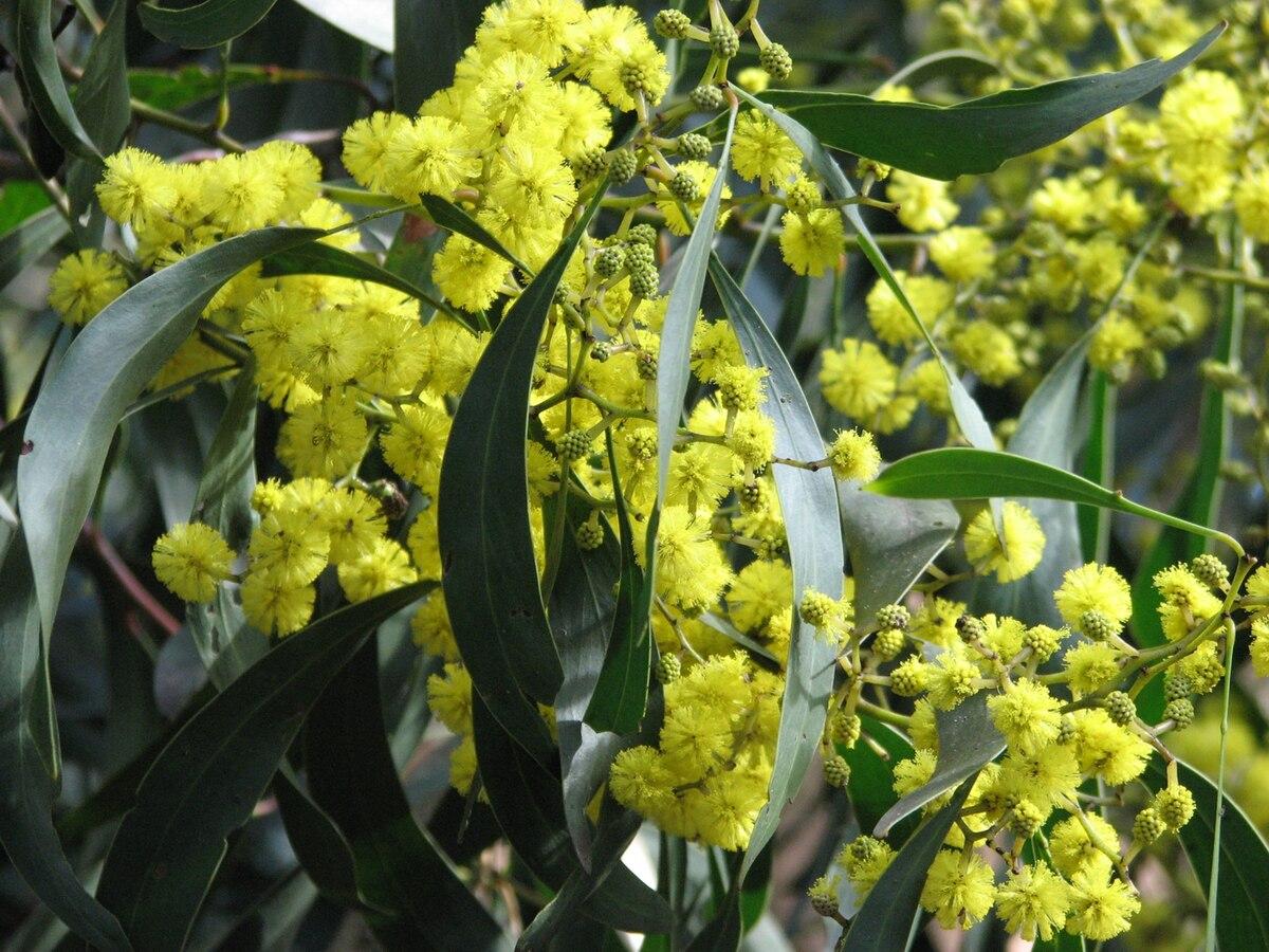 List of australian floral emblems wikipedia biocorpaavc Choice Image
