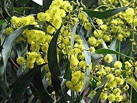 Golden Wattle Acacia pycnantha Golden Wattle.jpg