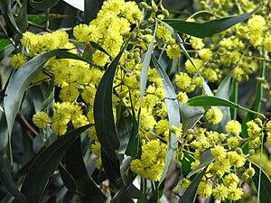 Blütenstände und Phyllodien der Gold-Akazie (Acacia pycnantha).