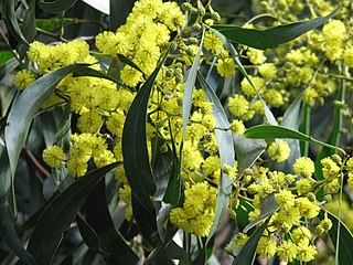 <i>Acacia pycnantha</i> The golden wattle, a tree of the family Fabaceae native to southeastern Australia!