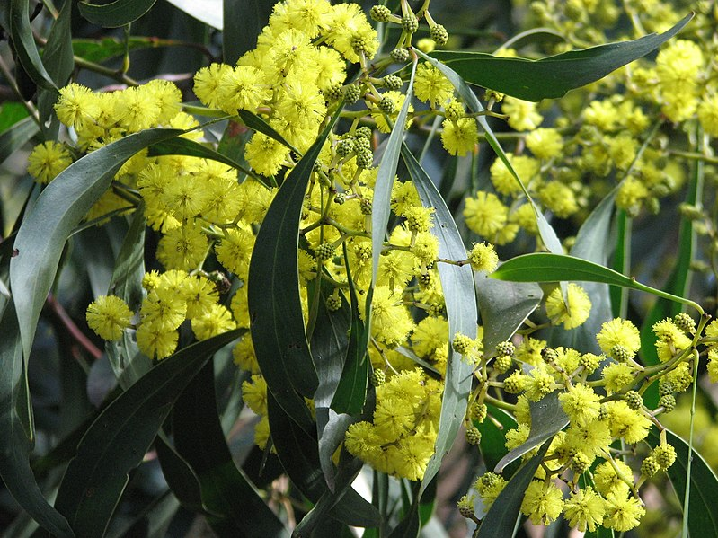File:Acacia pycnantha Golden Wattle.jpg