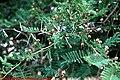 Acacia sieberiana 4.jpg