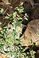 Acalypha sp. (Euphorbiaceae) (24399779134).jpg