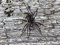 Acantholycosa lignaria 9931546.jpg