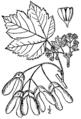 Acer glabrum BB-1913.png