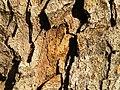 Acer obtusatum (49).JPG