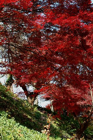 Acer palmatum - Fall maples in Nara, Japan