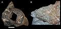 Achelousaurus nasals.jpg