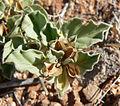 Acleisanthes nevadensis 5.jpg