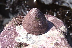 Acmaea mitra.jpg