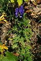 Aconitum variegatum n1.JPG