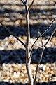 Adansonia rubrostipa 1zz.jpg