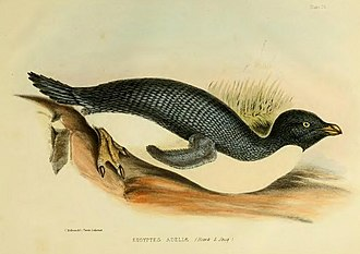 Ross expedition - Adelie penguin, from the Ross Expedition to the Antarctic of  1839–1843. The Zoology of the Voyage of HMS Erebus and Terror Vol 1, 1875. Drawn by C. Hillman