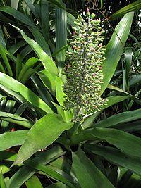 Aechmea mexicana (TS) 2-001676.jpg