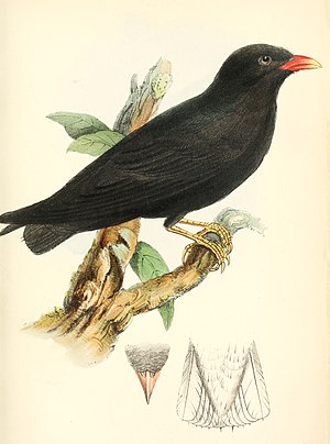 African river martin - Illustration from 1861 Ibis article.