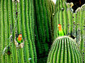 Agapornis roseicollis -nest in cactus-8.jpg