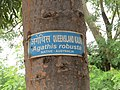 Agathis robusta at National Zoological Park Delhi - Visit during WCI 2016 (2).jpg