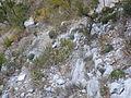 Agave victoriae-reginae (5661698455).jpg