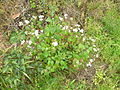 Ageratina adenophora plant1 (11508255985).jpg