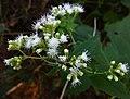 Ageratina altissima - White Snakeroot.jpg