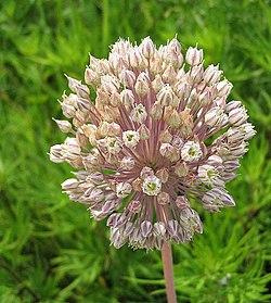 Allium ampeloprasum wikipedia la enciclopedia libre for Aglio porro