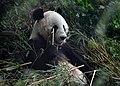 Ailuropoda melanoleuca Zoo Schönbrunn 2018 b.jpg