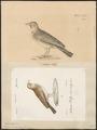 Alauda kollyi - 1700-1880 - Print - Iconographia Zoologica - Special Collections University of Amsterdam - UBA01 IZ16100341.tif