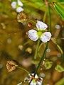 Alisma plantago-aquatica 002.JPG