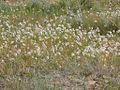 Allium cernuum (3287025867).jpg
