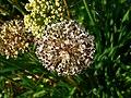 Allium lusitanicum 004.JPG