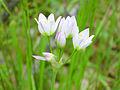 Allium roseum Flores 2013-4-25 SierraMadrona.jpg