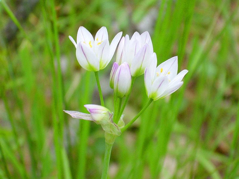 File:Allium roseum Flores 2013-4-25 SierraMadrona.jpg