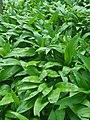 Allium ursinum 124700536.jpg