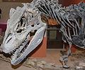 Allosaurus NHM.jpg