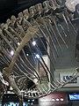 Allosaurus Ribs (32110847015).jpg