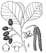 Alnus glutinosa drawing 2.png