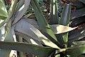 Aloe striata 0zz.jpg