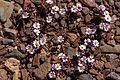 Along Hwy. 374 into Death Valley National Monument , California - desert wildflowers - (26760766010).jpg