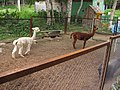 Alpaca in the Zoo of Yuzhno-Sakhalinsk 2.JPG