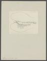 Alpheus punctulatus - - Print - Iconographia Zoologica - Special Collections University of Amsterdam - UBAINV0274 097 06 0006.tif